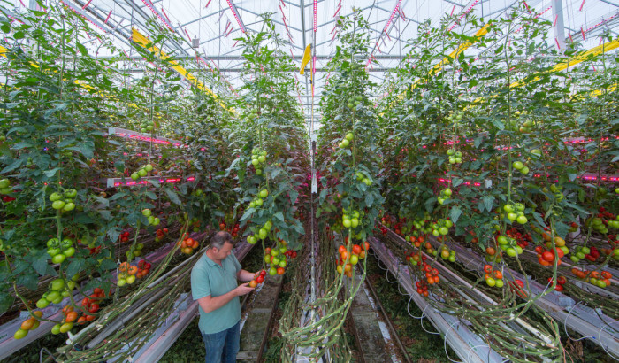 Combining HPS and LED lights for higher tomato yields and longer illumination periods
